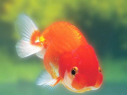 会动的金鱼桌面壁纸软件(Gold Fish Aquarium)