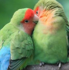 桌面宠物(爱情鸟)软件