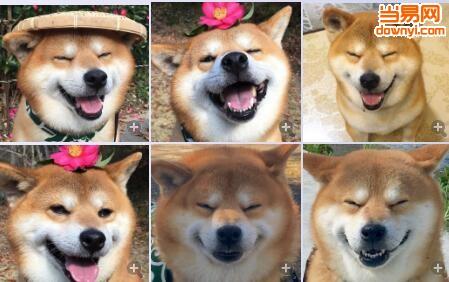 柴犬傻笑表情包
